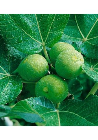 BCM Obstpflanze »Feigenbaum«, grün kaufen