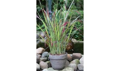 BCM Gräser »Blutgras cylindrica 'Red Baron'«, (Spar-Set), Lieferhöhe ca. 40 cm, 1 Pflanze kaufen