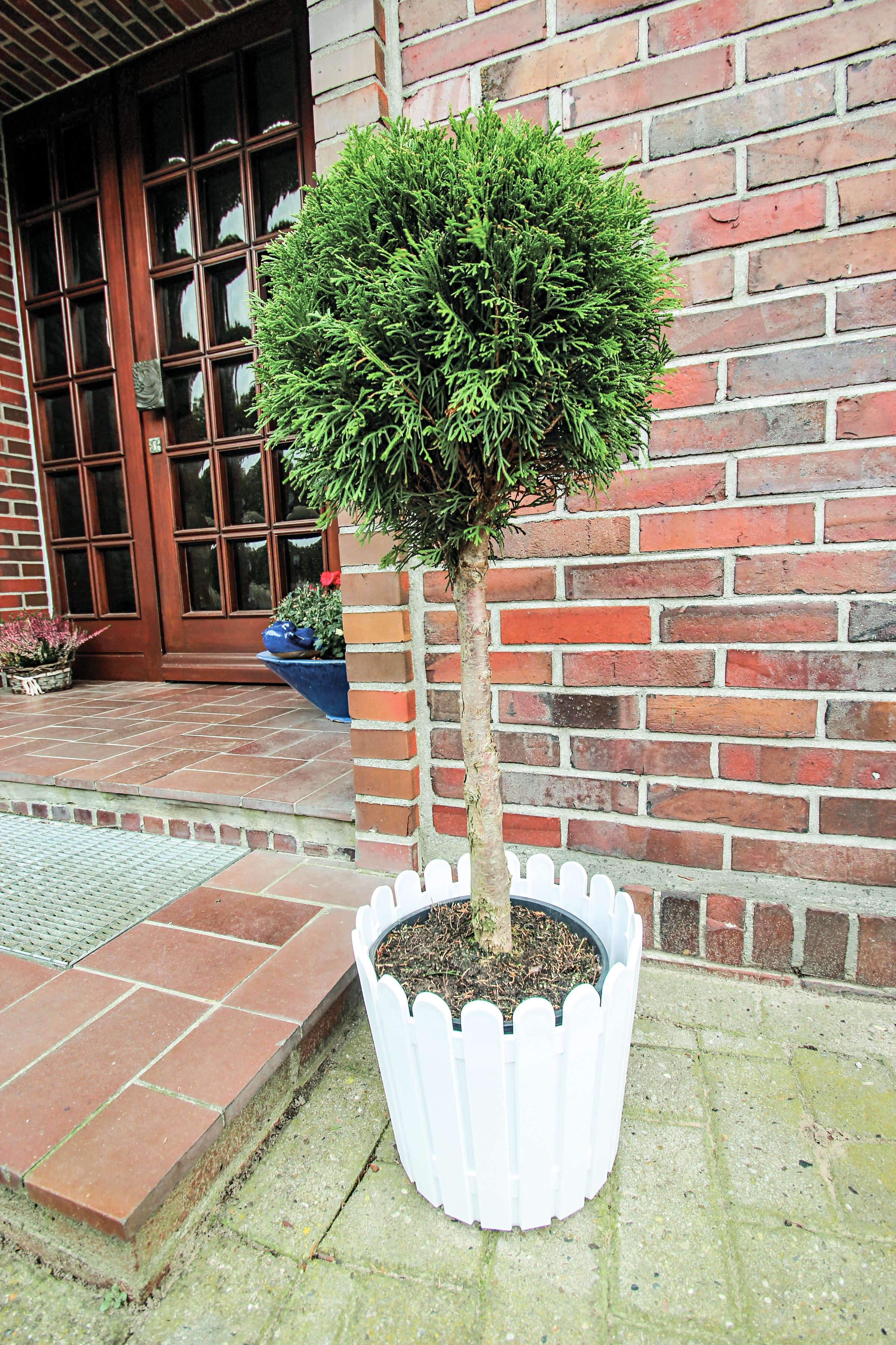 BCM Hecken Konifere Smaragd Stämmchen grün Heckenpflanzen Pflanzen Garten Balkon