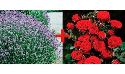 Set: Beetrose »Rose Europeana & Lavendel« kaufen