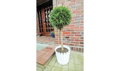Lebensbaum »Smaragd Stämmchen« kaufen
