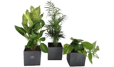 DOMINIK Zimmerpflanze »Palmen - Set«, Höhe: 30 cm, 3 Pflanzen in Dekotöpfen kaufen