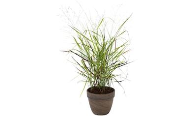 BCM Gräser »Rutenhirse virgatum 'Cheyenne Sky'«, Lieferhöhe ca. 40 cm, 1 Pflanze kaufen