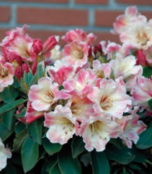 BCM Hecken Rhododendron Gerstenkorn rosa Heckenpflanzen Pflanzen Garten Balkon