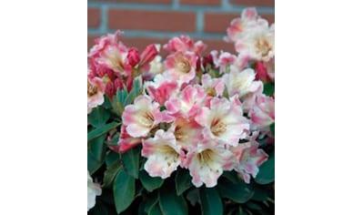 BCM Hecken »Rhododendron Gerstenkorn« kaufen