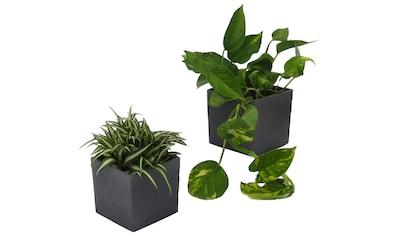 Dominik Zimmerpflanze »Grünpflanzen-Set«, Höhe: 15 cm, 2 Pflanzen in Dekotöpfen kaufen