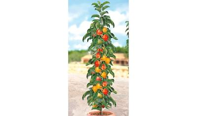 BCM Obstpflanze »Säulenobst Apfel Ballerina« kaufen