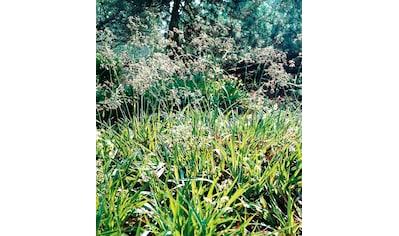 BCM Staude »Waldmarbel Gras« kaufen