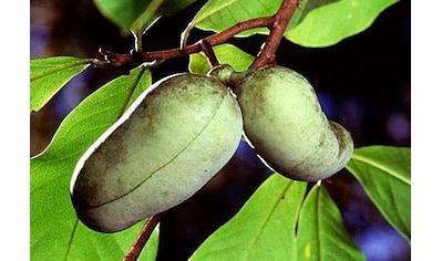 Obstbaum »Indianerbanane Paw Paw®« kaufen