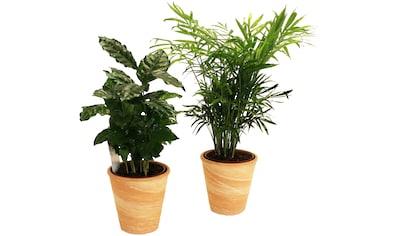 Dominik Zimmerpflanze »Palmen-Set«, Höhe: 15 cm, 2 Pflanzen in Dekotöpfen kaufen