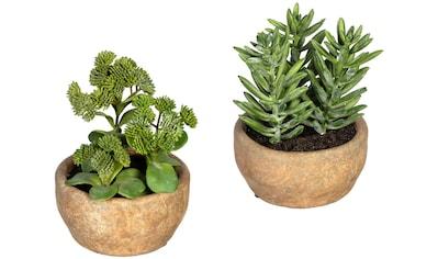 Creativ green Künstliche Zimmerpflanze »Sukkulenten Sedum und Aloe«, im Zementtopf,... kaufen