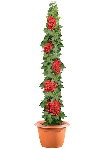 BCM Obstpflanze »Johannisbeere Jonkheer van Tets«, 40 cm Lieferhöhe kaufen