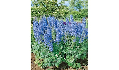 Rittersporn »New Milennium Blue Lace«, hellblau (2 Pfl.) kaufen