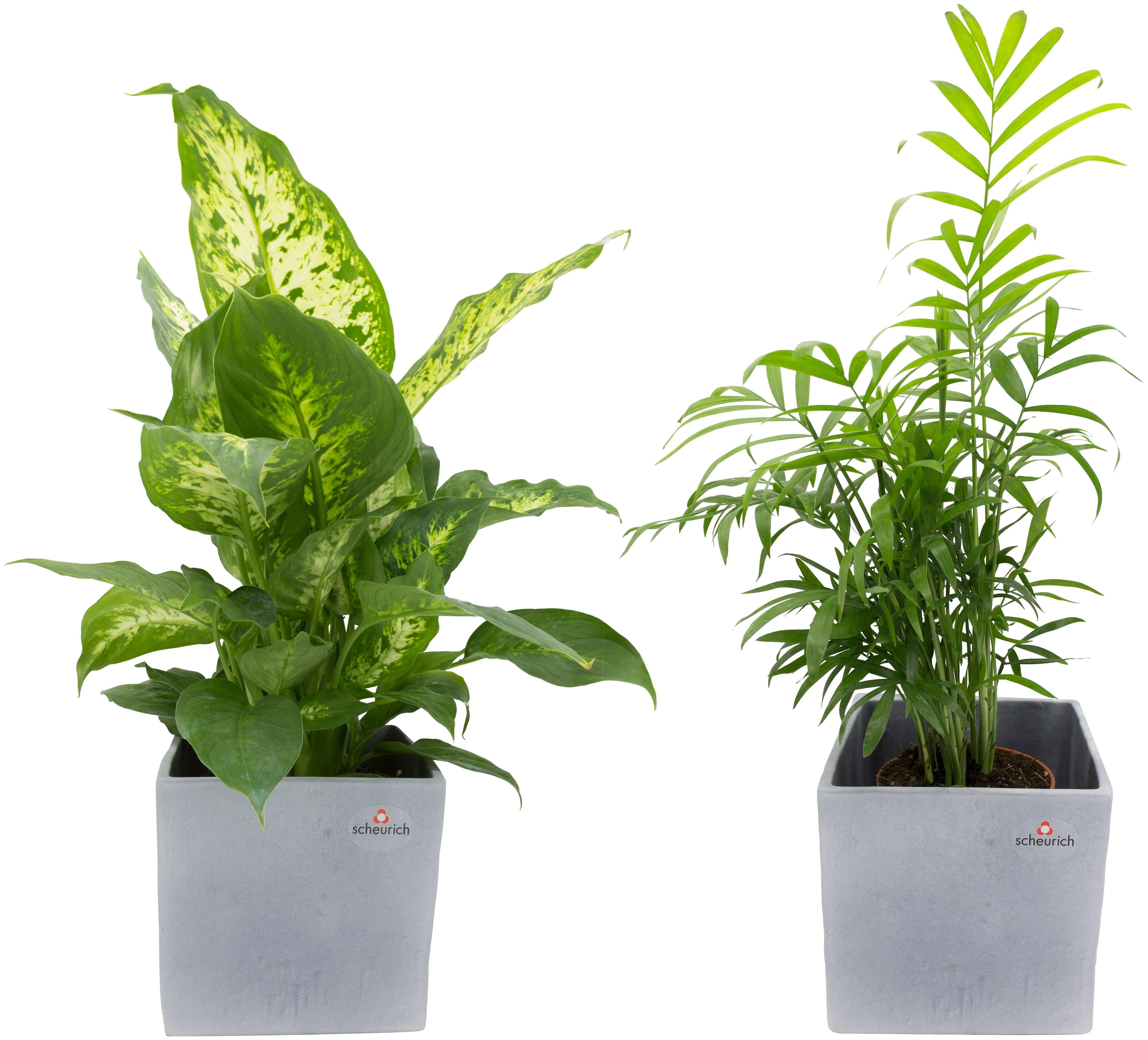 Dominik Zimmerpflanze Grünpflanzen-Set, Höhe: 30 cm, 2 Pflanzen in Dekotöpfen grün Garten Balkon