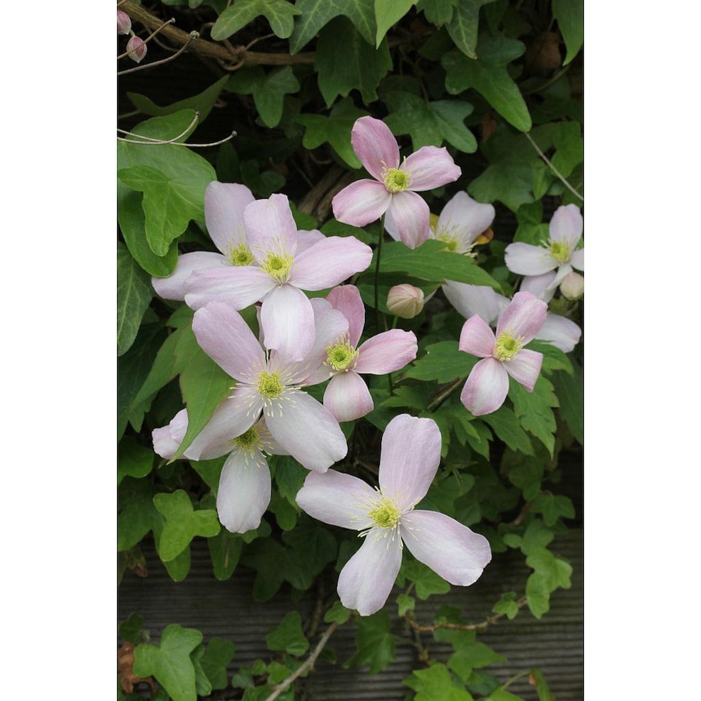 BCM Kletterpflanze »Waldrebe montana 'Rubens'«, (Spar-Set), Lieferhöhe: ca. 60 cm, 3 Pflanzen