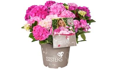 BCM Hortensie »Three Sisters Pastel, Pink, White«, Höhe: 30 - 40 cm, 1 Pflanze kaufen