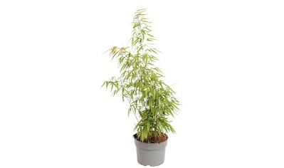 BCM Staude »Bambus rufa«, Lieferhöhe ca. 40 cm, 2 Pflanzen kaufen