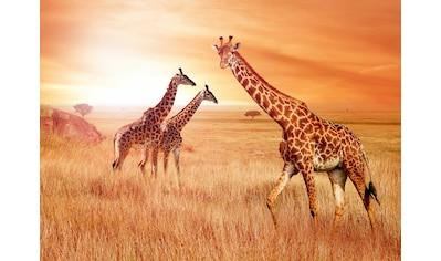 Papermoon Fototapete »African Giraffes« kaufen