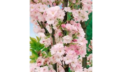 Japanische Nelken - Kirsche Amanogawa, 125 cm kaufen