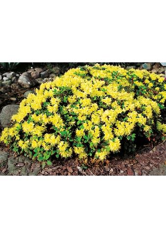 BCM Hecken »Rhododendron Princesse Anne« kaufen