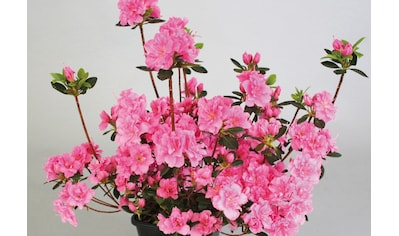 BCM Hecken »Rhododendron Drapa« kaufen