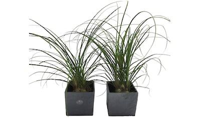 Dominik Zimmerpflanze »Elefantenfuß«, Höhe: 30 cm, 2 Pflanzen in Dekotöpfen kaufen