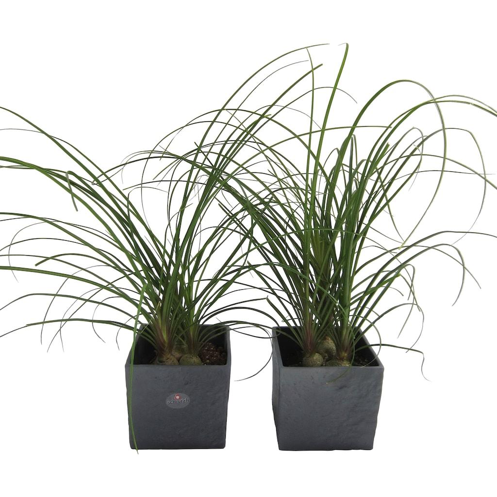 Dominik Zimmerpflanze »Elefantenfuß«, Höhe: 30 cm, 2 Pflanzen in Dekotöpfen