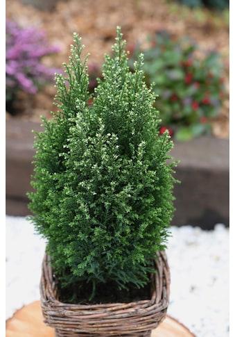 BCM Hecken »Scheinzypresse Snow White«, Höhe: 30-40 cm, 3 Pflanzen kaufen