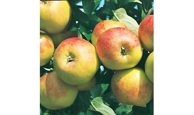 Obstbaum »Apfel Gravenstein«, 150 cm kaufen