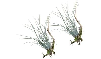 Creativ green Kunstpflanze »Hängeast mit Tillandsie« (Set, 2 Stück) kaufen