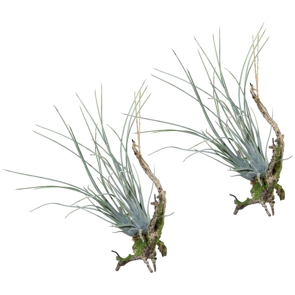 Creativ green Kunstpflanze »Hängeast mit Tillandsie«