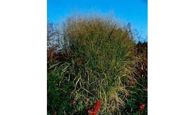 BCM Staude »Rutenhirse Gras« kaufen