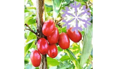 BCM Obstpflanze »Kornelkirsche mas 'Cornel Berry'«, (Spar-Set), Lieferhöhe ca. 60 cm,... kaufen