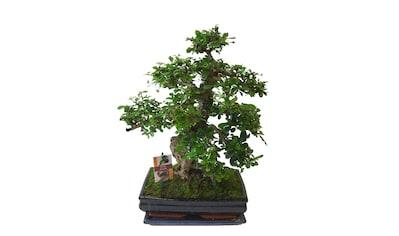 Zimmerpflanze »Bonsai« mit Keramikübertopf kaufen