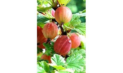 BCM Obstpflanze »Säulenobst Rote Stachelbeere Captivator«, Höhe: 50 cm, 2 Pflanzen kaufen
