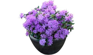 BCM Hecken »Rhododendron Luisella«, Höhe: 20 cm, 1 Pflanze kaufen