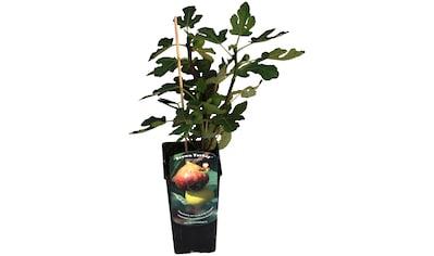 BCM Obstpflanze »Feige carica 'Brown Turkey'«, (Spar-Set), Lieferhöhe ca. 60 cm, 3... kaufen