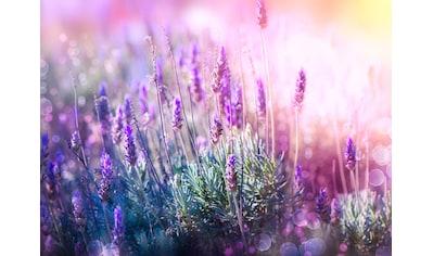PAPERMOON Fototapete »Lavender Field«, Vlies, in verschiedenen Größen kaufen