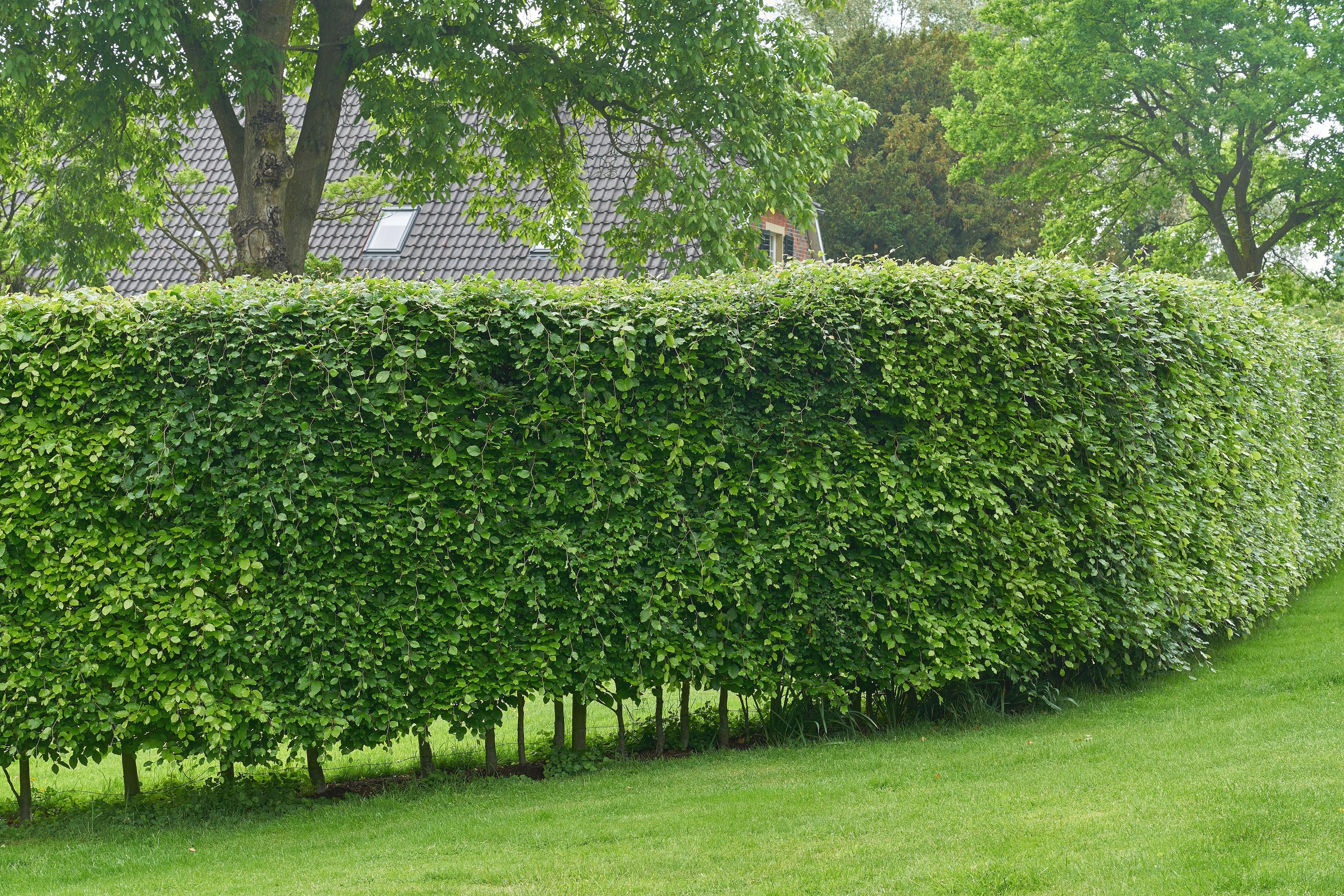 BCM Hecken Hainbuche grün Heckenpflanzen Pflanzen Garten Balkon