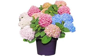 BCM Gehölze »Hortensie Forever & Ever«, 3-farbig kaufen