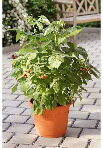 Himbeere »Lubera® Lowberry® Little Red Princess® «, 30 cm kaufen