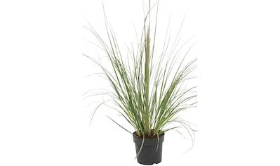 BCM Gräser »Pampasgras selloana 'Evita' ®«, Lieferhöhe ca. 60 cm, 1 Pflanze kaufen