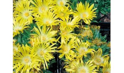 Staudengewächs »Mittagsblume« (3 Stk.) kaufen