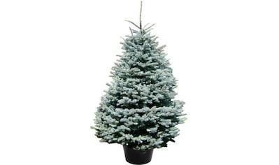 """Weihnachtsbaum Guru Echter Weihnachtsbaum """"Edeltanne im Topf"""", Edeltanne kaufen"""