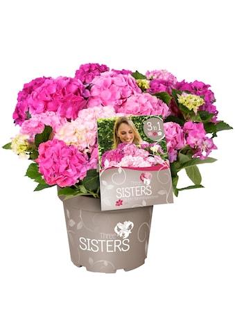 BCM Gehölze »Hortensie Three Sisters Pastel, Pink, White«, Höhe: 30-40 cm, 1 Pflanze kaufen