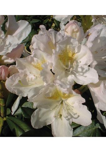 BCM Hecken »Rhododendron Cunningham's White« kaufen