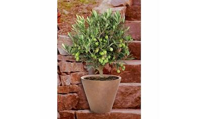 BCM Olivenbaum »Olivenbaum, Ministamm« kaufen