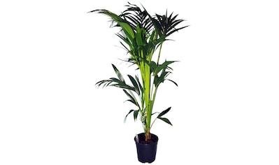 Dominik Zimmerpflanze »Kentia-Palme«, Höhe: 60 cm, 1 Pflanze kaufen