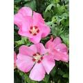 BCM Gehölze »Hibiscus Woodbridge«, Höhe: 50 cm, 3 Pflanze