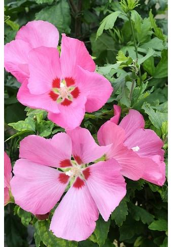 BCM Gehölze »Hibiscus Woodbridge«, Höhe: 50 cm, 3 Pflanze kaufen